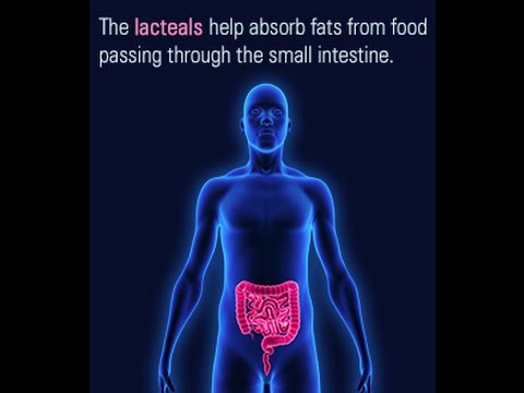 Location and Function of the Lacteals in the Small Intestine