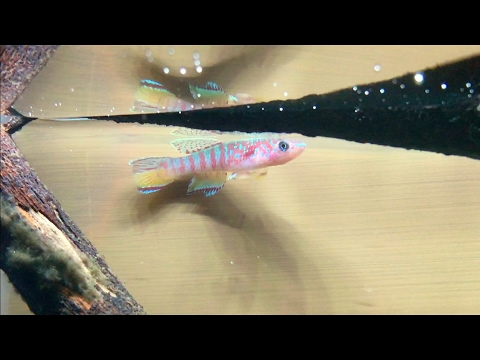 New Killifish!