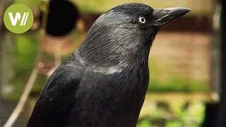 Ravens and crows -  the most intelligent birds in the world (animal documentary in HD)