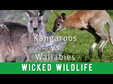 Kangaroos Vs Wallabies - What's The Difference