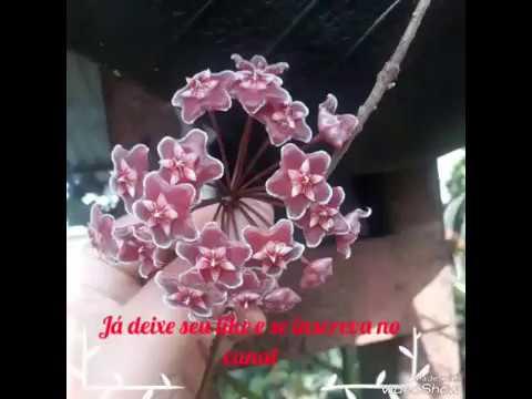 Hoya carnosa (flor de cera)