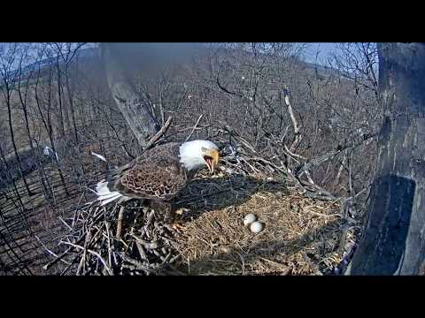 Attacks at the Nest! -  Hanover Eagles Nest - March 19, 2018