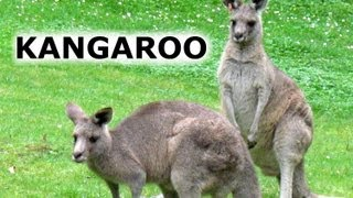 Australian Kangaroo Kangaroos Hopping Jumping San Francisco Zoo Australia Wild Animals Jazevox