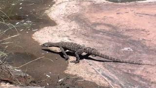 Echse in Palm Valley (nähe Alice Springs)