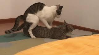 КОТ НЕ ОЖИДАЛ ТАКОГО ОТ КОШКИ! Спаривание кошек / Вязка / Кошки / Кошка и кот / Брачный сезон Мурка