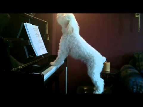 Cane che suona e canta.flv