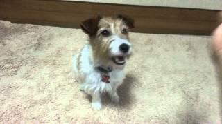 犬に『お手』の教え方の解説動画 ①.