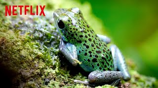 Poison Dart Frogs 🐸 Life in Color with David Attenborough | Netflix Futures