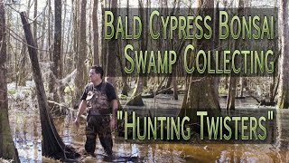 Bald Cypress Bonsai - Swamp Collecting -...