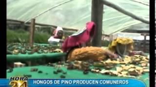 Baixar Hongos de pino, nueva alternativa gastronómica
