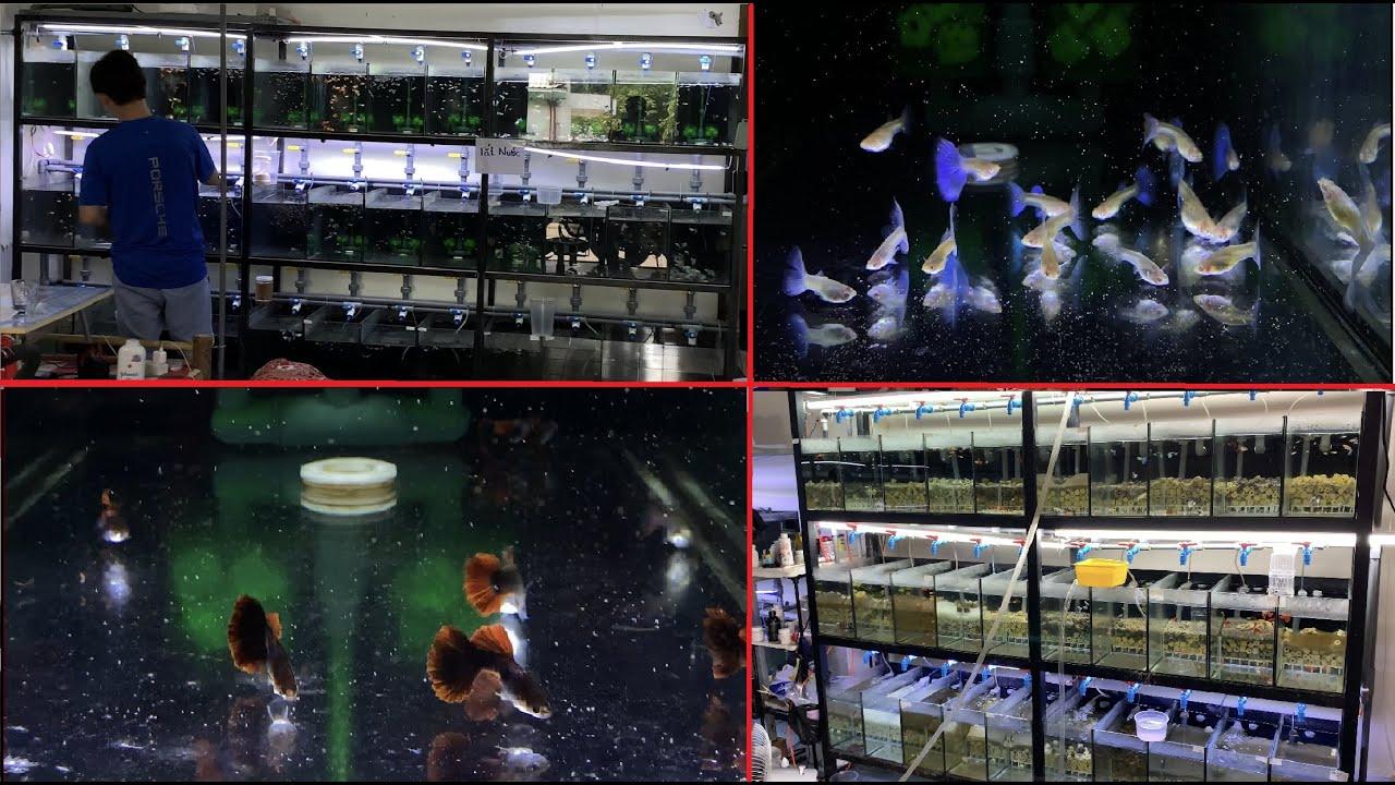 Dàn ép đẻ cá 7 màu siêu khủng của chủ tịch hiệp hội cá 7 màu Việt Nam