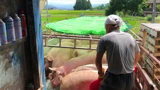 暑いしお盆ですが、豚の出荷はいつも通り有ります。 今回はドナドナされ...