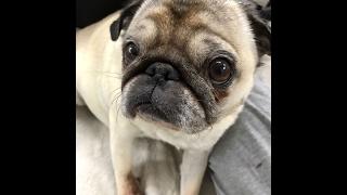 Мой МОПС / БОЛЕЗНЬ моей собаки /Сердечная недостаточность