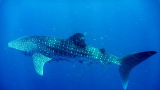 SWIMMING WITH WHALE SHARKS Shot on Gopro Hero 5