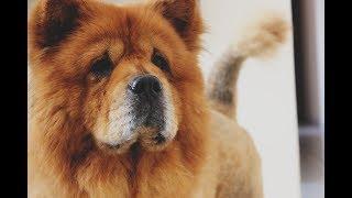 чау чау, видео с выставки собак