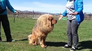 Тибетский мастиф -наш  Лавли Фром Бордо Дешен - 2,5 года