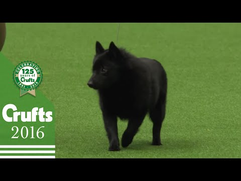 The Schipperke - Exclusive Behind the Scenes with Best of Breed Winner | Crufts 2016