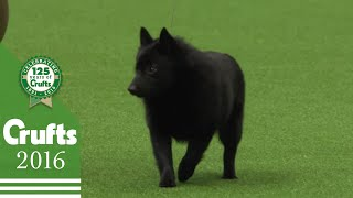 The Schipperke  Exclusive Behind the Scenes with Best of Breed Winner | Crufts 2016