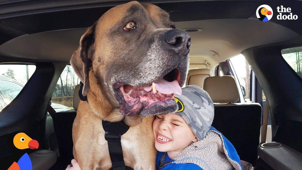 HUGE Dog Learns To Walk Again