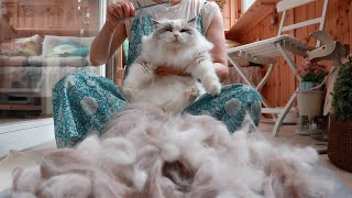 How much fur do 11 Ragdoll Cats shed everyday?