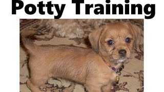 How To Potty Train A Schweenie Puppy - Schweenie House Training - Housebreaking Schweenie Puppies