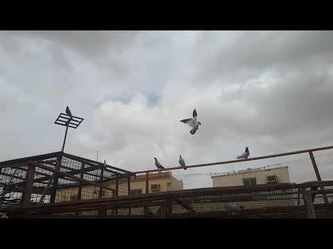 My ksa chaat ka manzar and High flyer pigeons