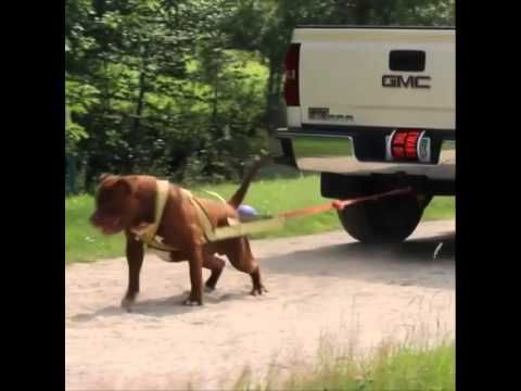 Worlds largest Pitbull 'The HULK' pulls a Chevy TRUCK!! Must see!!