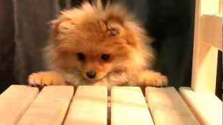 Nev Lemar Esenia (катька) Pomeranian Spitz