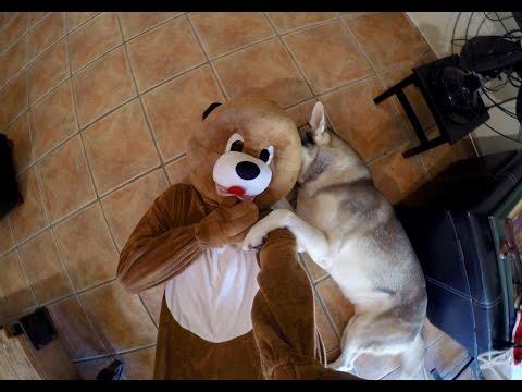Dog Suit vs Husky!