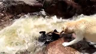 ШОК! Собака спасает другую собаку от верной гибели или ...?