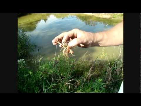 1of 2 Fishing For Louisiana Red Claw Crayfish In Pennsylvania