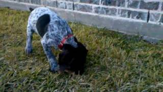 German Shorthaired Pointer Puppy Playing