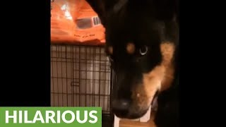 Dog bewildered as bunny eats from his food bowl