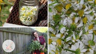 Harvesting and Drying Chamomile  Cut Flower Farm Gardening Garden Grow DIY Homestead Herb Organic