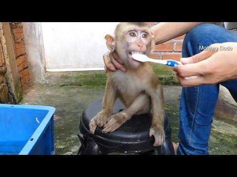 Monkey Baby Dodo Get New Teeth, Dodo Morning Routine
