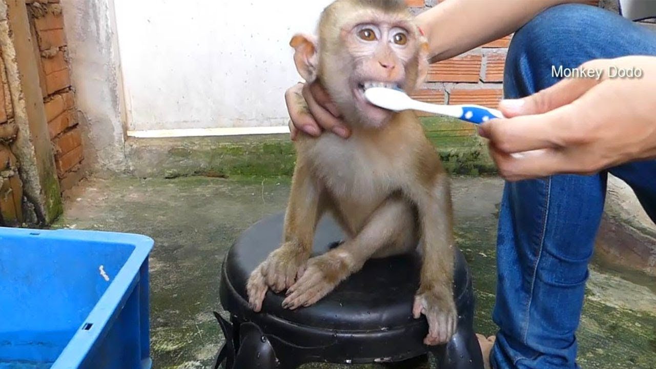 Monkey Baby Dodo Get New Teeth, Dodo Morning Routine
