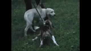 щенок  лабрадора  Маркушка  4  месяца
