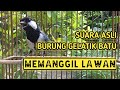 Pancingan Burung Gelatik Batu Wingko Dijamin Nyaut  Mp3 - Mp4 Download