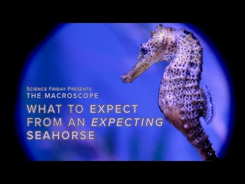 Dads give birth and other interesting facts about seahorse pregnancies