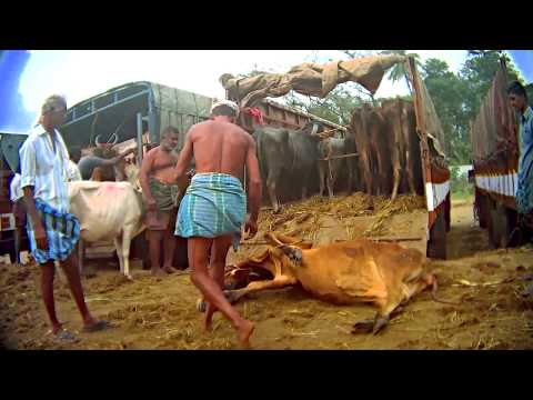 Animal Equality Exposes Cattle Markets in India