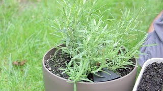 How To Harvest Herbs - Rosemary Mint Lemongrass
