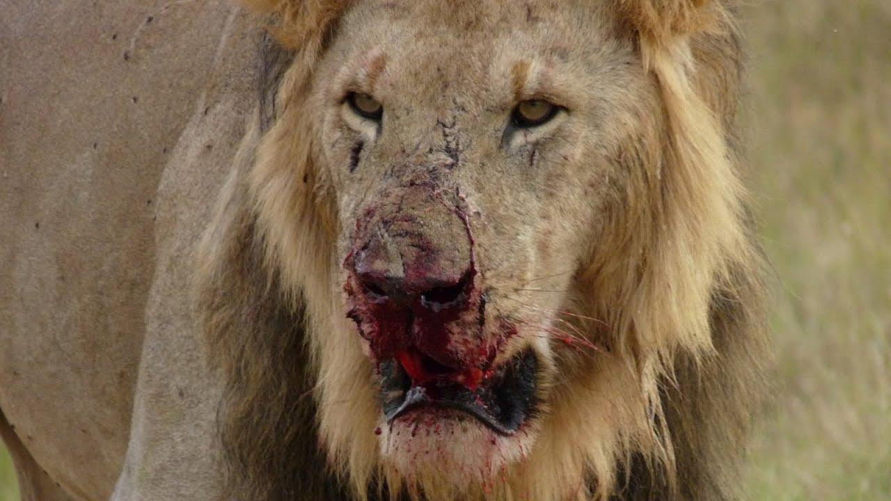 Lion Animal Wallpaper Lion Fight Part V Youtube
