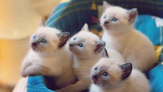 Cute Siamese Kittens Doing Funny Things!