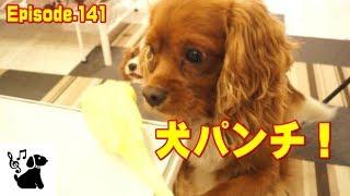 まさか犬パンチするとは! おもしろ可愛い犬(キャバリア/ルビー・ブラ...