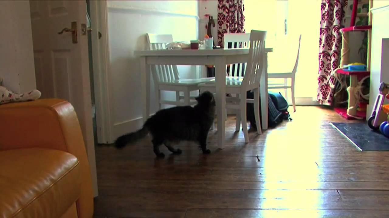 Big Maine Coon Door Opening Trick & Big Maine Coon Door Opening Trick - YouTube