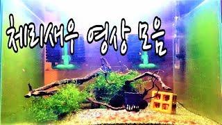 체리새우 영상 모음 Cherry Shrimp Tank