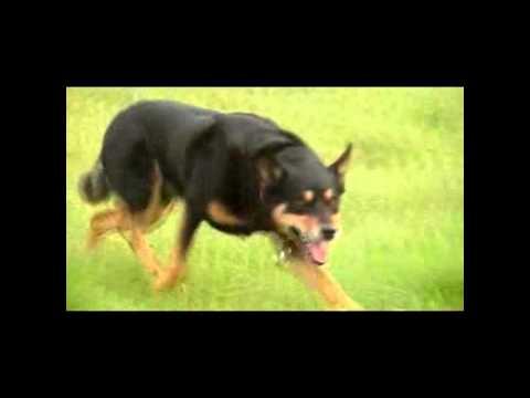 Working Kelpie at Mitchens, a Videopresentation of Mitchens herding dogs.
