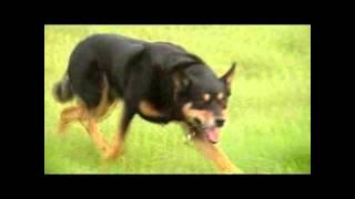 Mitchens Working Kelpie, A Videopresentation Of Mitchens Herding Dogs.