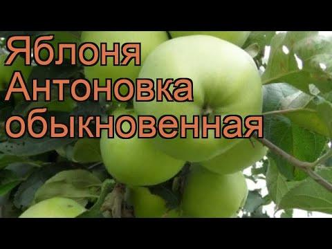 Яблоня обыкновенная Антоновка обыкновенная 🌿 обзор: как сажать, саженцы яблони