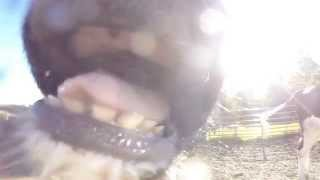 Cow Eats GoPro